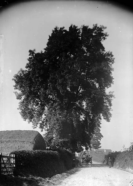 [Ash tree, Llanfyllin]