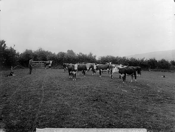 [Mr Jones' cattle]