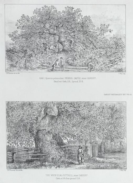 Oak (Quercus pedunculata), Hensol Castle near Cardiff