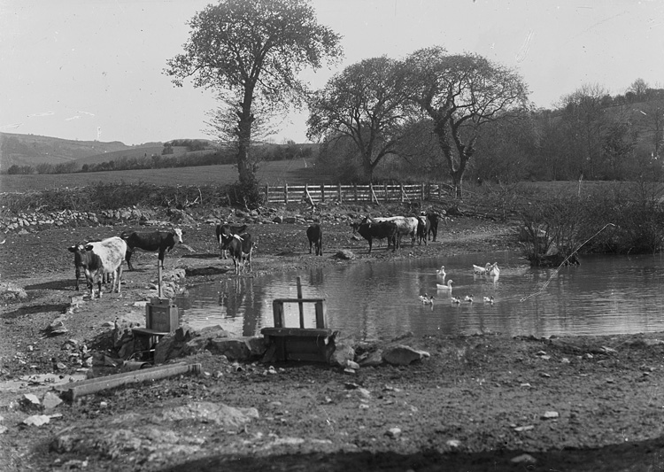 [Cows at the periphery of a pond with geese and ducks swimming]