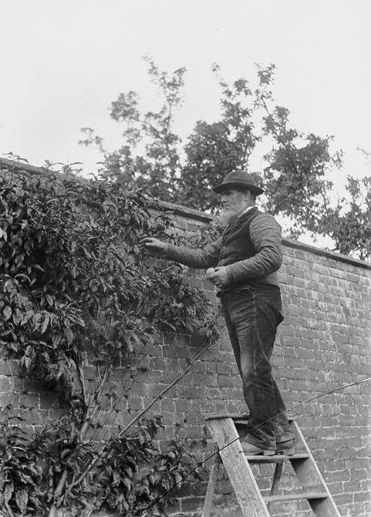 [Gardener on a stepladder collecting fruit]