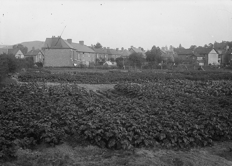 [Potato patch near houses]