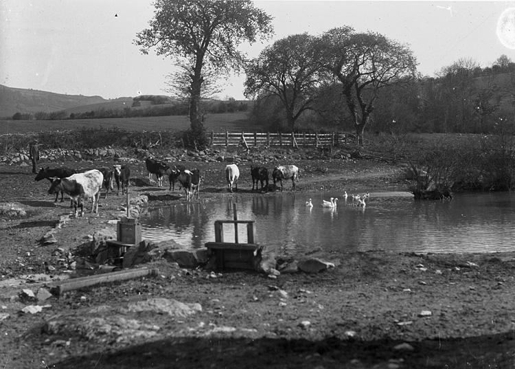 [Cows at periphery of a pond with geese and ducks swimming]