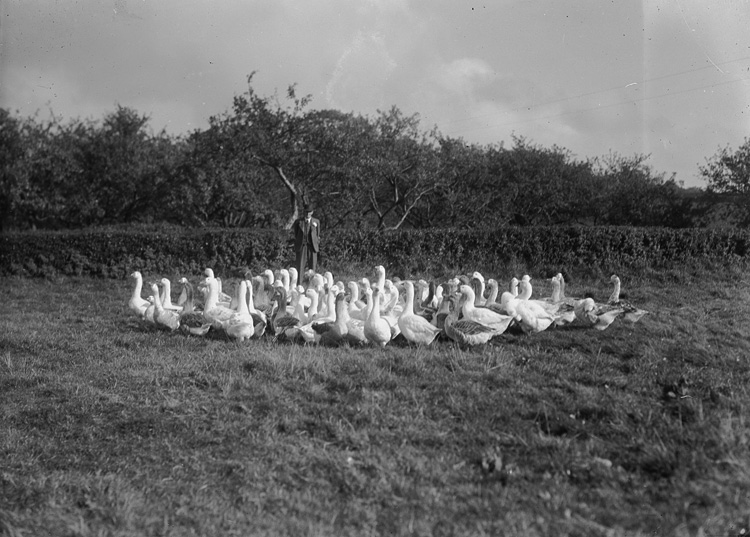 [Henry Pritchard, Boughrood Court Farm, with a flock of geese]