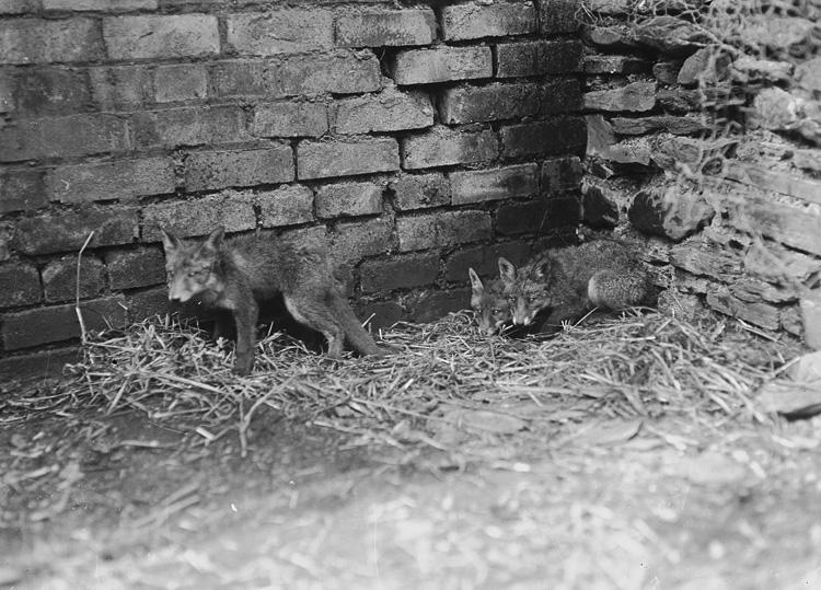 [Fox cubs]