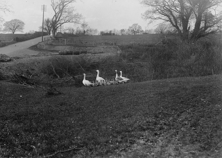 [Geese and gosling in field]