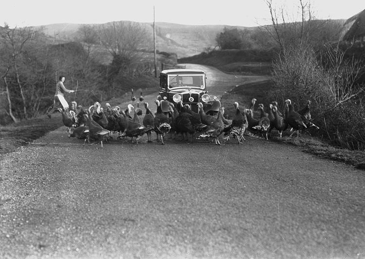 [Woman herding turkeys across a road in front of a car]
