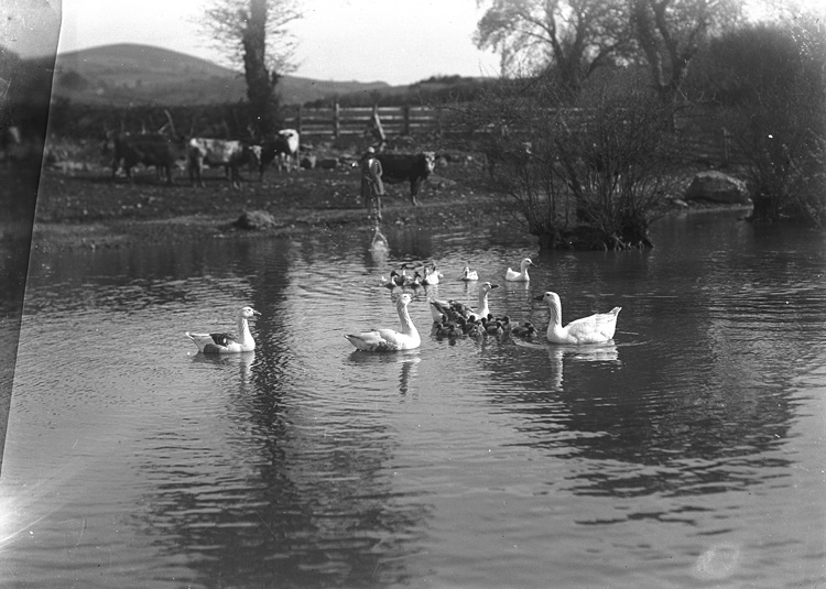 [Geese and ducks on pond]