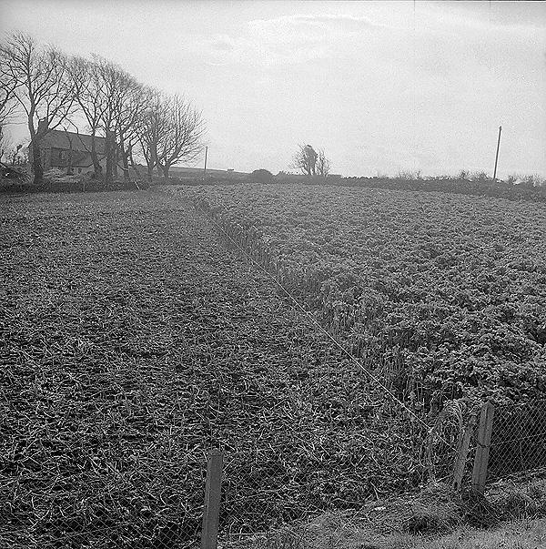 [Field of kale in Porthaethwy]