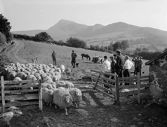 [A demonstration on how to improve the standard of mountain sheep, held at Coedladur, Llanuwchllyn]