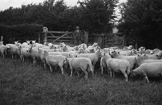 [Ben Alderson with his Kerry ewes]