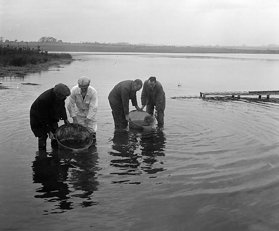 [Restocking Cefni lake, Llangefni with trout]