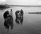 [Restocking Cefni lake, Llangefni with trout]