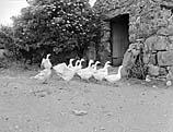 [Welsh farm life - taken for Y Cymro Agricultural Supplement]