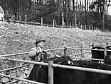 [Sale of black cattle in Dolgellau - the co-operative organization in rural Meirion]