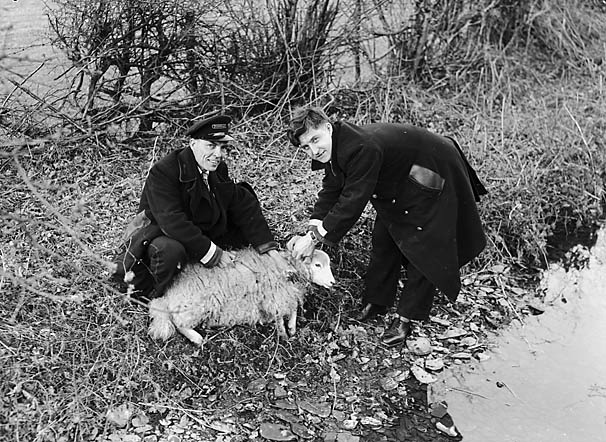 [Bus driver and conductor rescue a sheep in Tal-y-llyn]