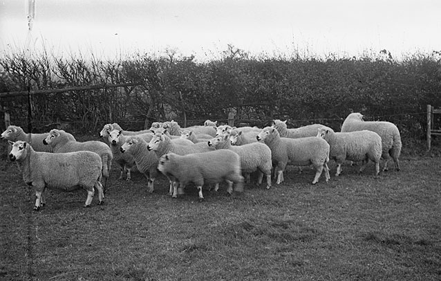 [Kerry Hill sheep belonging to Mr Sheppard of Forden and Mr R.W. Venables of Kerry]