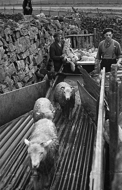 [Sheep washing and dipping near Trawsfynydd]