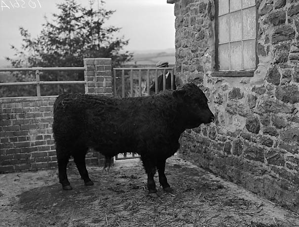 [Welsh Black bull belonging to Cadwaladr Jones, Hafod, Llanerfyl]