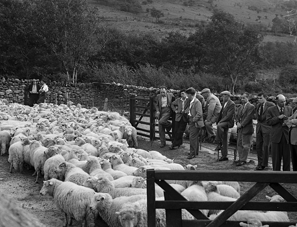[Sheep demonstration at Gwastadannas]