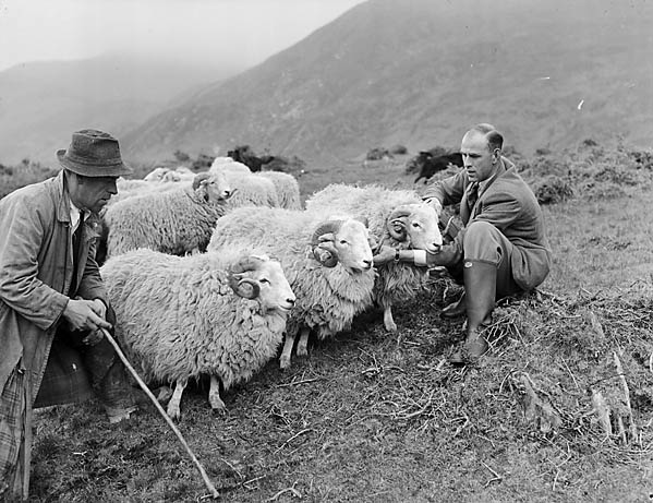 [Welsh Mountain Sheep]