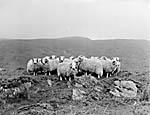 [Welsh Mountain Sheep]