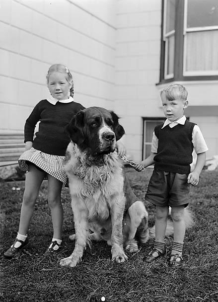 [St Bernard dog at the Belle Vue Hotel, Aberystwyth]