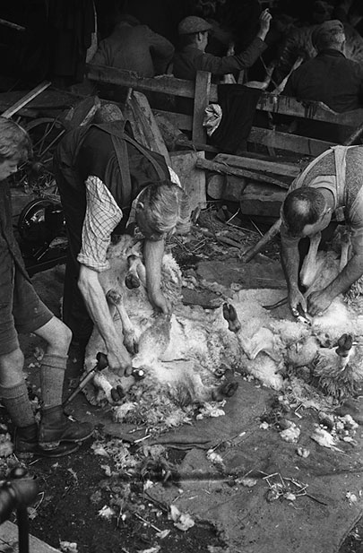[Neighbours help out with the sheep shearing at Llangurig and Llangadfan]