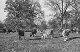 [Mrs Walker's herd of Jersey Cattle at Plas Dixon, Oswestry, 1948]