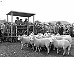 [Kerry Hill sheep sales at Llanfair Caereinion]