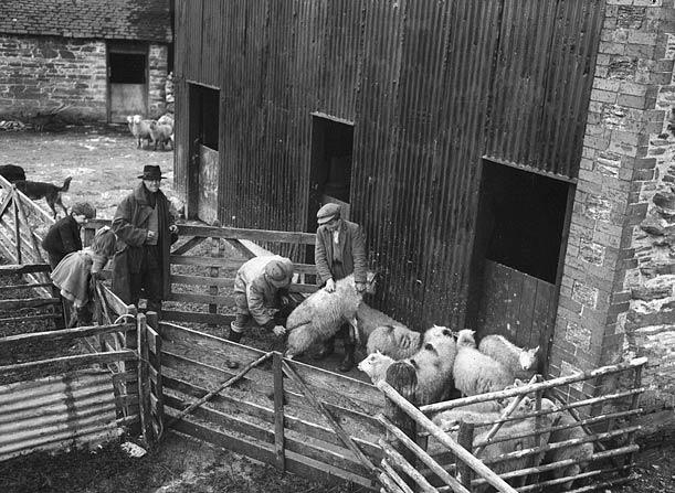 [Sorting sheep in the Elan Valley]