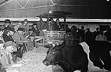 [Sale of Friesian cattle from the herd of R. W. Griffiths, Coedydinas, Welshpool]