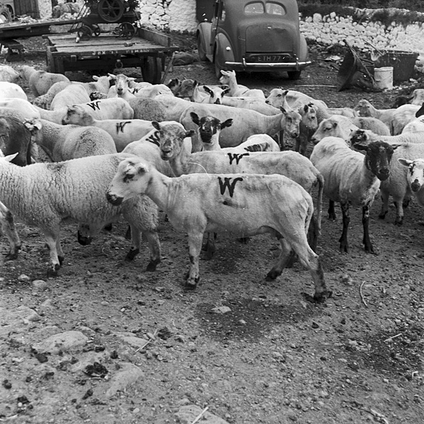 [Sheep shearing at Pantycelyn, the home of William Williams]
