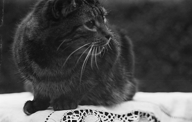 [A 25 year old cat from Gobowen Road, Oswestry, 1948]
