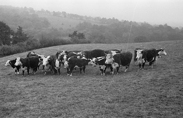 [Brecon and Radnor Calf [Rearers] - calf rearing]