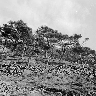 [Remains of an ancient Scots Pine Forest]