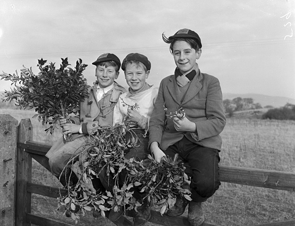 [Boys from Trawsfynydd collecting holly and mistletoe to sell]