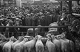 [Kerry Hill Sheep Flock Book Society ram sale at Welshpool market]