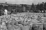 [Kerry Sheep Show and sale]