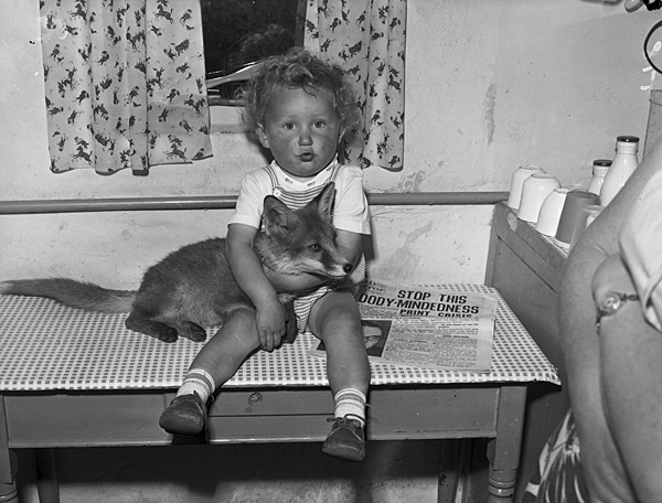 [A tame fox cub at home with Mr and Mrs Gordon Jones, Talysarn]