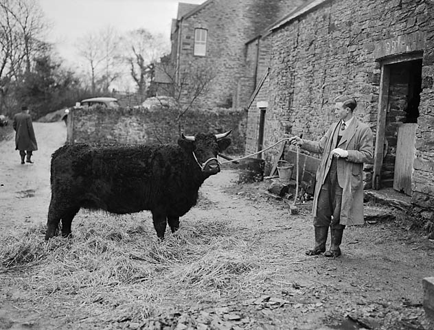 [Welsh Black cattle herd at Neuadd yr Ynys, Taliesin]