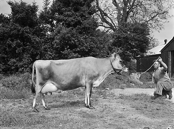 [A Jersey Cow]