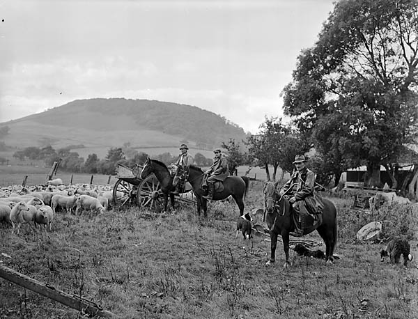 [Three shepherds on horseback herding sheep near Beulah, Brecknockshire]