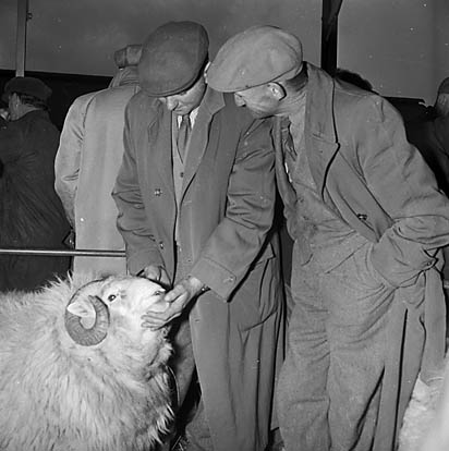 [Welsh mountain sheep sale at Trawsfynydd]