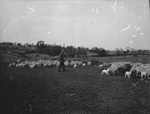 [New lambs at Trawsfynydd]