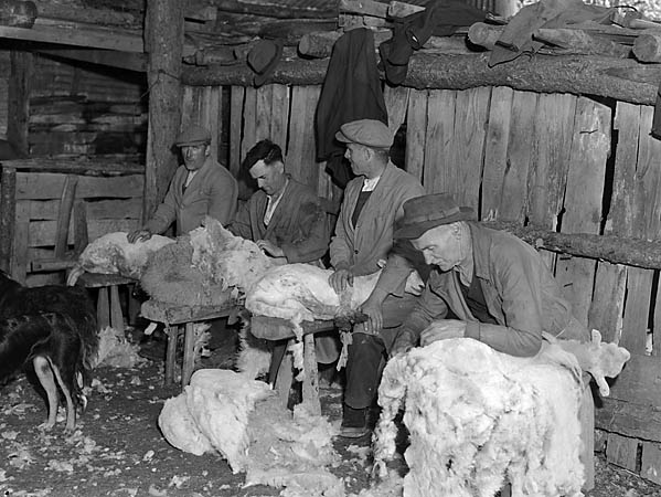 [Sheep shearing in Dinas Mawddwy]