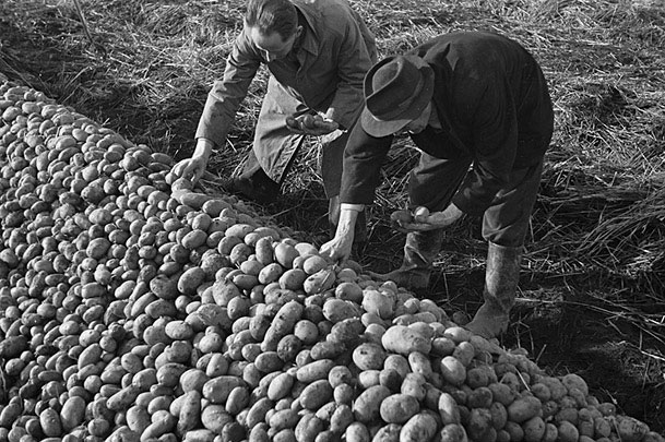 [Montgomeryshire WAEC growing potatoes at Churchstoke, and Women's Land Army at work]