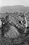 [Montgomeryshire WAEC growing potatoes at Churchstoke, and Women's Land Army at work]