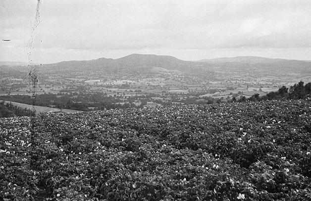 [Roguing seed potato crops on the Churchstoke hill farm of the Montgomeryshire WAEC