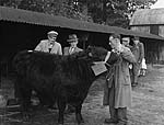 [Welsh Black Cattle Society show and sale at Menai Bridge]